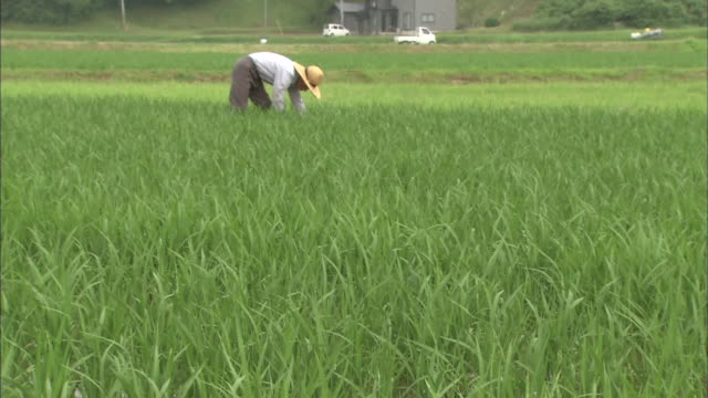 a farmer bends as he works in a rice paddy. - 秋田県点の映像素材/bロール