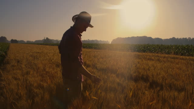 cs farmer caressing ears of wheat while walking in the field at sunset - crane shot stock videos & royalty-free footage