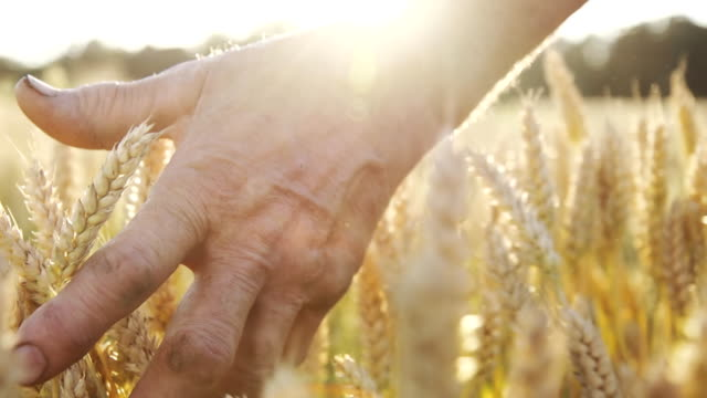 HD SUPER SLOW MO: Farmer Caressing The Wheat