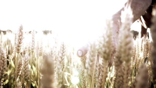 hd super slow mo: farmer caressing the wheat - ear of wheat stock videos and b-roll footage