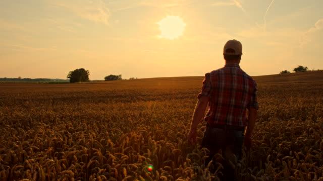 vidéos et rushes de ws cs agriculteur caressant le blé - caresser