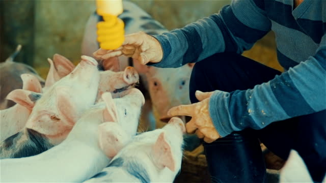 vídeos de stock e filmes b-roll de farmer caressing young pigs inside a barnyard - porco
