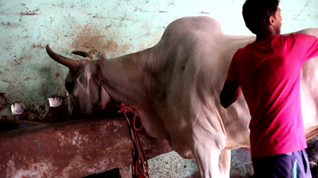 farmer caring his domestic animal at home - haryana stock videos & royalty-free footage