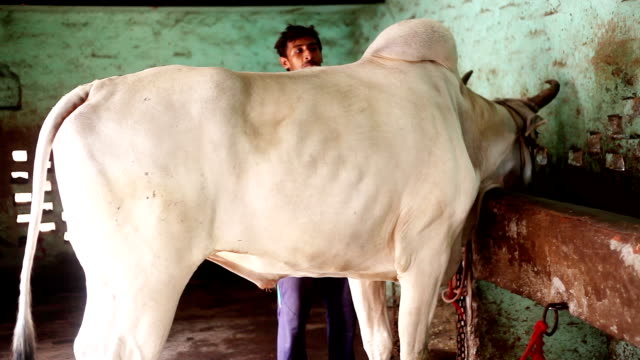farmer caring his domestic animal at home - cattle stock videos & royalty-free footage