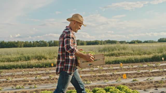 slo mo farmer carries a crate full of lettuce across a field - carrying stock videos & royalty-free footage