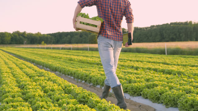DS Farmer carrying a wooden crate and digital tablet across a field of lettuce