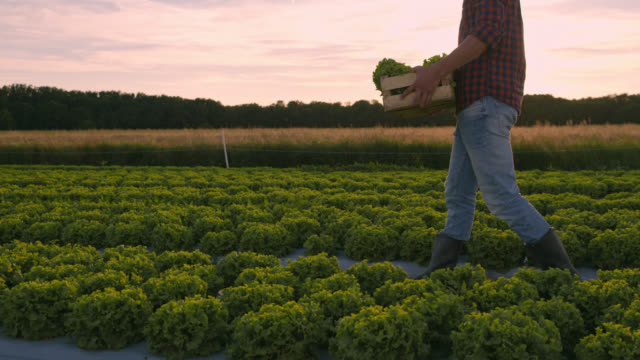 DS Farmer carrying a wooden crate with lettuce along the field