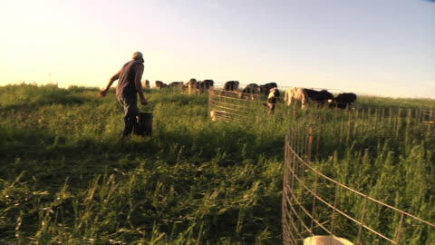 vidéos et rushes de ws slo mo pan farmer carrying bucket of fresh water to calves that are fenced in organic pasture / columbus, wisconsin, usa - agriculteur