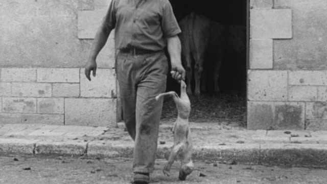 stockvideo's en b-roll-footage met 1955 montage farmer carrying dead newborn lamb out of barn for disposal with other dead sheep / united kingdom - 1955