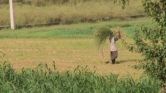 ws farmer carrying freshly cut hay, jalandhar, india - fieno video stock e b–roll