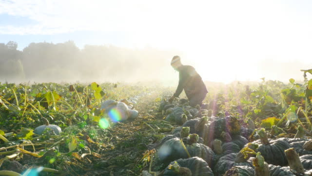 MS Farmer carrying organic squash during harvest on fall morning at sunrise