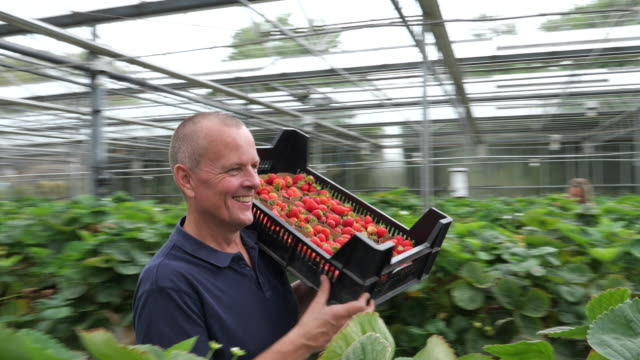 vídeos de stock e filmes b-roll de farmer carrying strawberries in an organic greenhouse. healthy lifestyle. - maduro