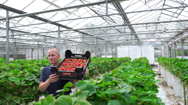 farmer carrying strawberries in an organic greenhouse. healthy lifestyle. - berry fruit stock videos & royalty-free footage