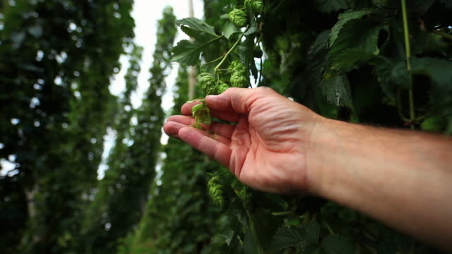 farmer checking hop cone cinemagraph - cinemagraph stock videos & royalty-free footage