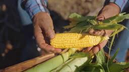 Farmer checking organic crate full of corn cob on a farm