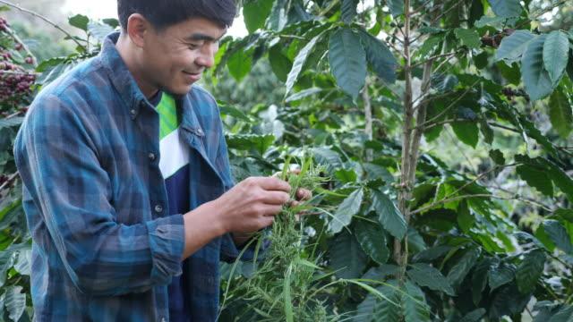 agricoltore che controlla foglia di marijuana di qualità nella pianta al rallentatore - canapa video stock e b–roll