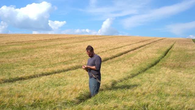 landwirt überprüft die reife von getreidepflanzen - cereal plant stock-videos und b-roll-filmmaterial