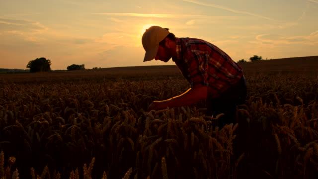ws cs contadino controllando il grano - crane shot video stock e b–roll