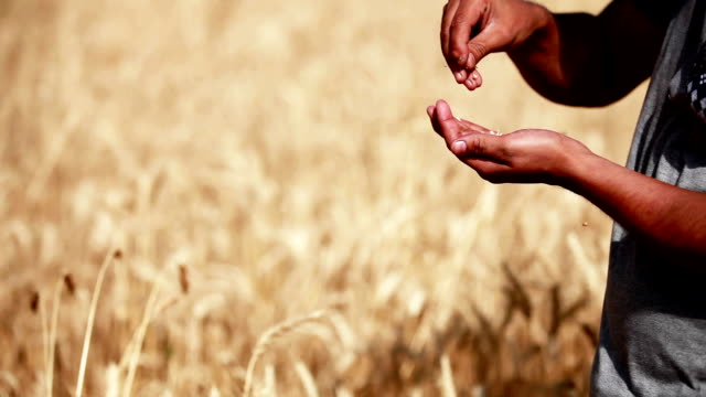 Farmer checking wheat crop plants