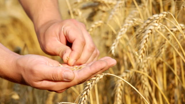 Farmer checking wheat seeds