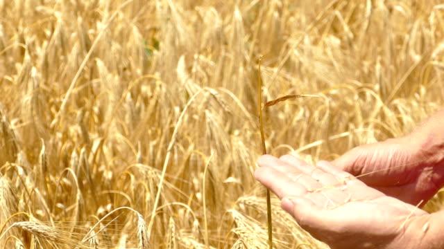 Farmer checks ripeness of wheat