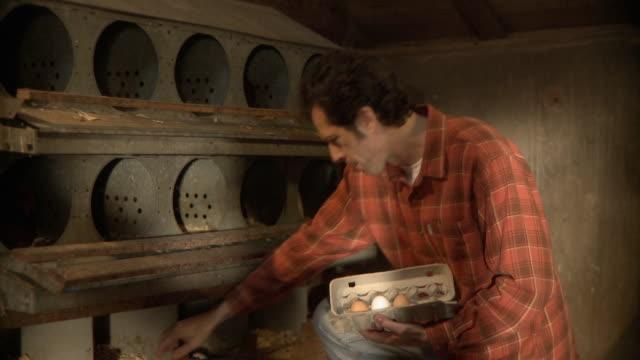 vídeos de stock e filmes b-roll de ms tu td farmer collecting eggs from nest box / wilmington, illinois, usa  - galinheiro