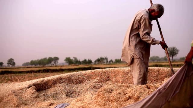 farmer collecting husk after wheat harvesting - pensionati lavoratori video stock e b–roll
