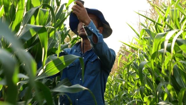 farmer corn field - cibo biologico video stock e b–roll