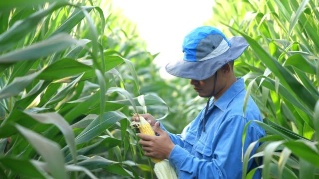 farmer corn field - ethnicity stock videos & royalty-free footage