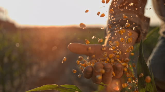 super slo mo farmer cupping maize kernels after harvest is done - lavoratore agricolo video stock e b–roll