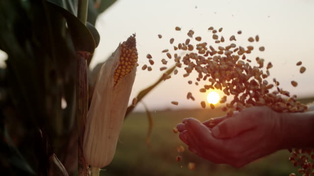 slo mo farmer cupping maize kernels at dusk - cereal plant stock videos & royalty-free footage