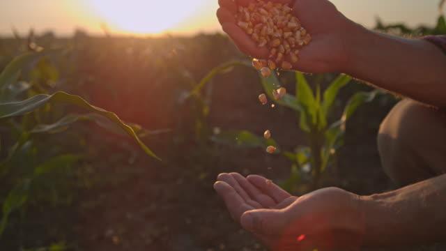 vídeos de stock e filmes b-roll de super slo mo farmer cupping maize kernels in the field at sunset - pessoa irreconhecível
