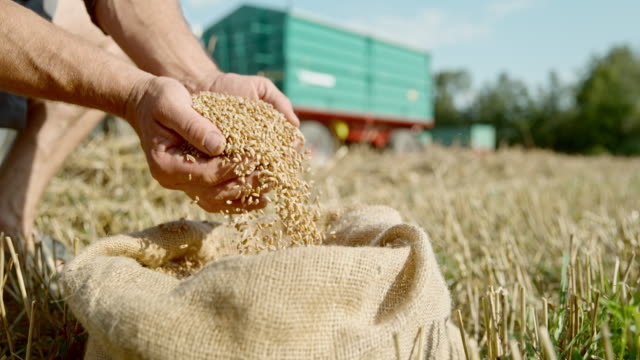 slo mo farmer cupping wheat grains from a sack - sack stock videos & royalty-free footage