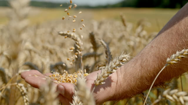 slo mo farmer cupping wheat grains in a field - cereal plant stock videos & royalty-free footage