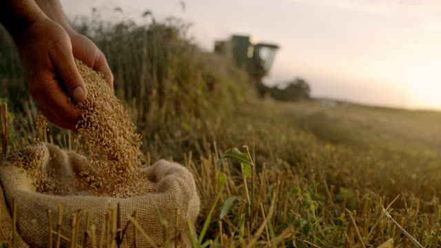 slo mo farmer cupping wheat grains on a field at sunset - sack stock videos & royalty-free footage