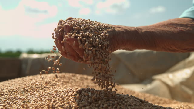 slo mo farmer cupping wheat grains on a trailer - cereal plant stock videos & royalty-free footage