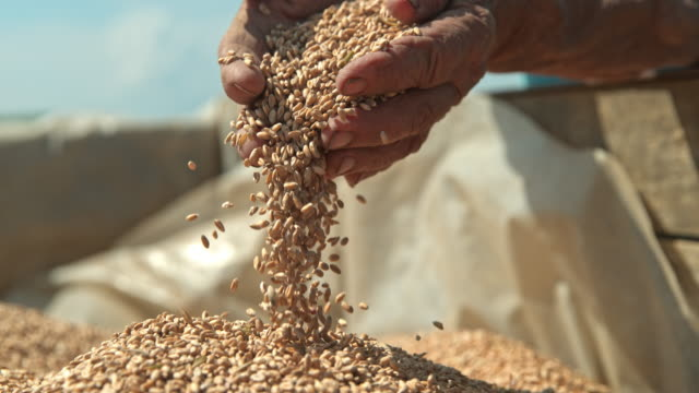vídeos de stock e filmes b-roll de slo mo farmer cupping wheat grains with both hands - semente
