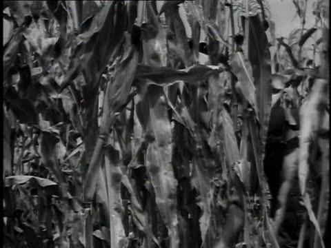 1923 ms farmer cutting down corn in cornfield / united states - 1923 stock-videos und b-roll-filmmaterial