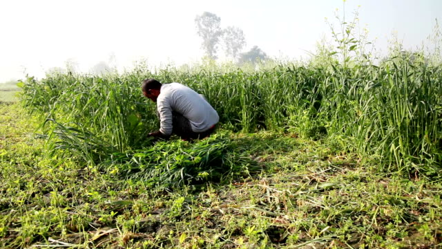 Farmer cutting green crop for use as animal fodder
