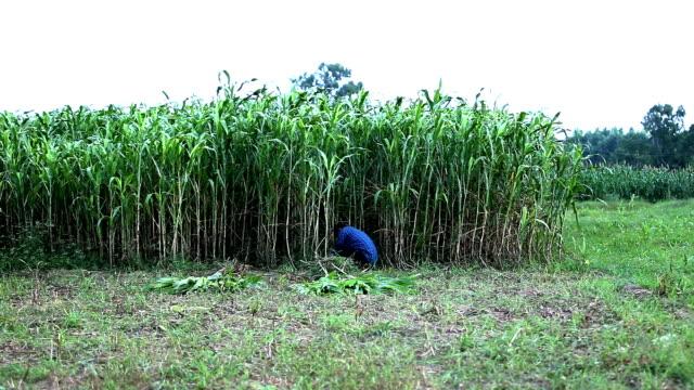 farmer cutting sorghum use as animal fodder - sorghum stock videos & royalty-free footage