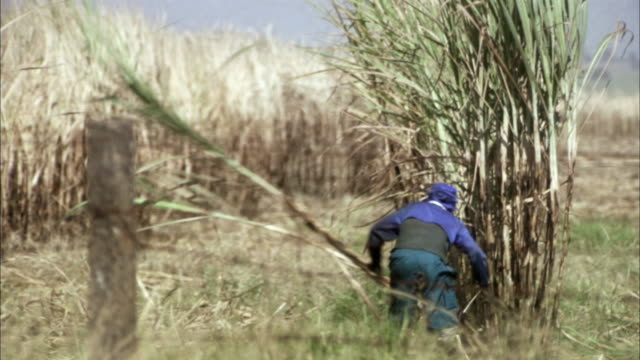 ws, farmer cutting sugar cane in field, aracatuba, sao paulo, brazil - sugar cane stock videos and b-roll footage