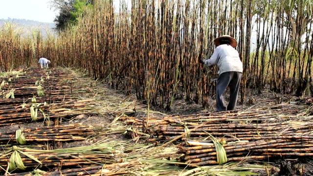 Farmer moderne Zuckerrohr