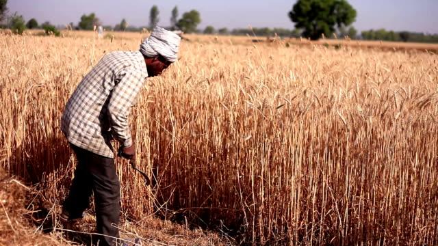farmer cutting wheat crop - sickle stock videos & royalty-free footage