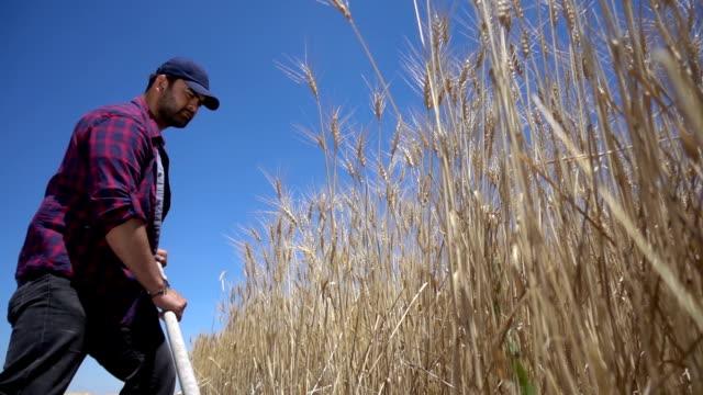 農家切削小麦 - 農学者点の映像素材/bロール