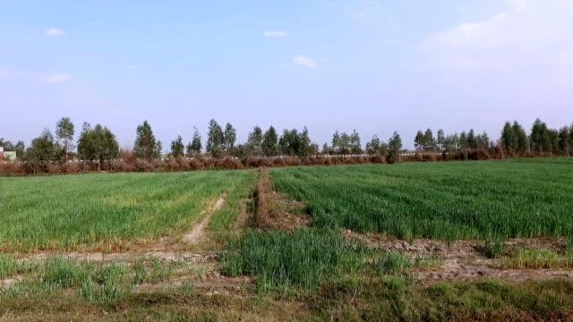 farmer digging in greed field - dhoti video stock e b–roll