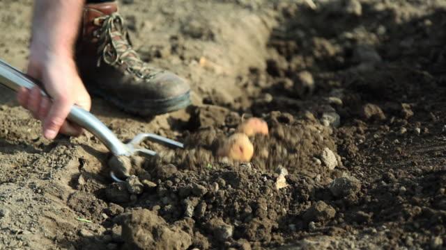 Farmer digging in potato field