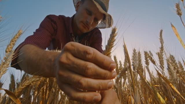 la farmer gör kvalitetskontroll av vete på fältet - agricultural field bildbanksvideor och videomaterial från bakom kulisserna