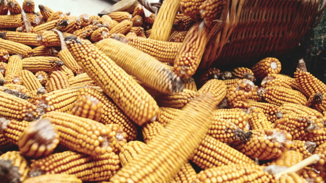 slo mo farmer emptying the basket of corn cobs - corn cob stock videos & royalty-free footage
