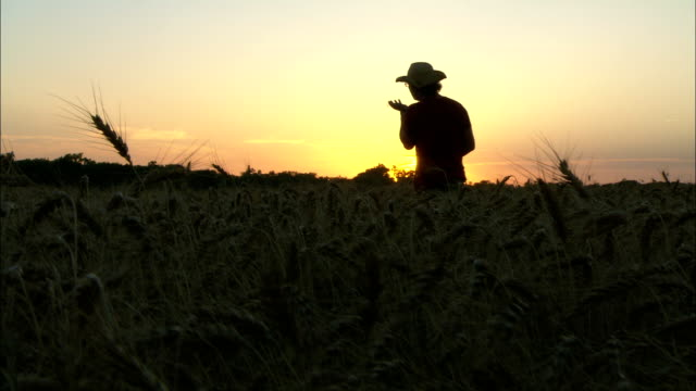 a farmer examines crops in a field at sunrise. - sunrise dawn stock videos & royalty-free footage