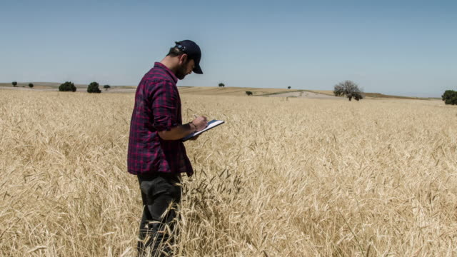 Farmer examining in Wheat Field